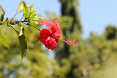 Hibiscus flower. Red hibiscus flowers growing in green garden Stock Photography