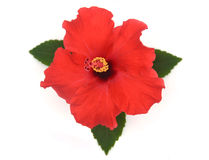 Hibiscus flower. Red hibiscus flower isolated on white background Royalty Free Stock Photo