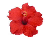 Hibiscus flower. Red hibiscus flower isolated on white  background Stock Photography