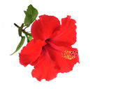 Hibiscus flower. Red hibiscus flower isolated on white background Stock Photos