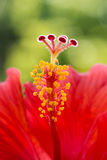 Hibiscus flower red macro stamen pistil single center tropical Stock Photo