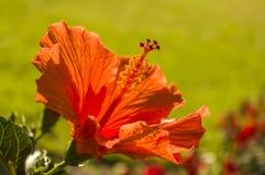 Hibiscus flower red orange with stamen stamens Bokeh stock photography