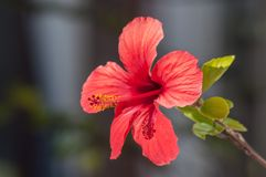 Hibiscus flower with red petal. In the garden royalty free stock image