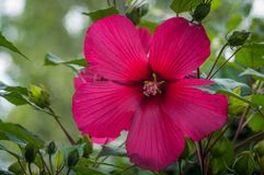 Hibiscus flower with red petal. In the garden stock photos