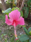 Hibiscus flower. Rose colour hibiscus flower at its best Royalty Free Stock Photos