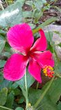 Hibiscus flower or rose mallow. It is a Hibiscus flower also called as Rose Mallow Royalty Free Stock Photo