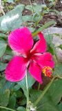Hibiscus flower or rose mallow. It is a Hibiscus flower also called as Rose Mallow Stock Photos