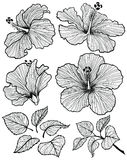 Hibiscus flower set. Hibiscus flower graphic head set with leaves and branch with leaves isolated on white background. Vector illustration, hand-drawn Vector Illustration