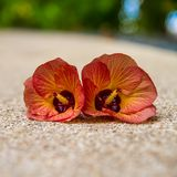 Hibiscus Flower. Shallow DOF Royalty Free Stock Image