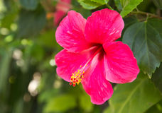 Hibiscus Flower. Shallow focus Royalty Free Stock Photography