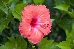 Hibiscus Flower Stock Image