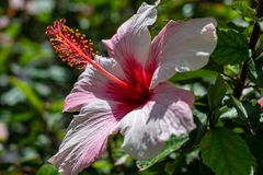 Hibiscus flower on a shrub royalty free stock photo