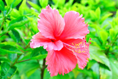 Hibiscus flower. (species name: Hibiscus rosa-sinensis Stock Photography
