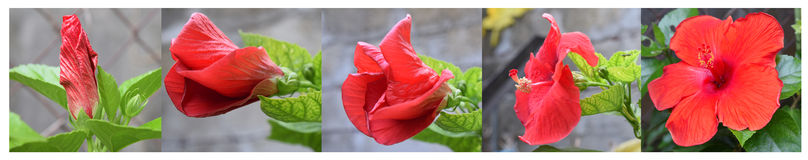 Hibiscus flower stages Stock Photography