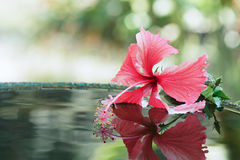 Hibiscus flower. Hibiscus on the surface with reflection in the water Stock Image