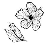Hibiscus flower in tattoo style. Black and white, graphic tropical flower. Hibiscus flower in tattoo style. Black and white tropical flower Stock Photos