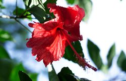Hibiscus flower is traditionally worn by Hawaiian women stock images