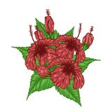Hibiscus flower vector by hand drawing. Hibiscus flower vector card by hand drawing.Beautiful flower on brown background.Red hibiscus art highly detailed in Stock Photos