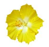 Hibiscus flower on white Stock Photo