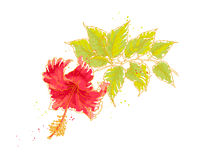 Hibiscus flower,  on white background Royalty Free Stock Photo