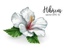 Vector realistic hibiscus flower leaves white. Hibiscus flower. White blooming blossom with green leaves. Realistic detailed hand drawn exotic floral decoration