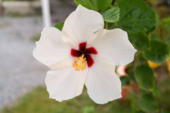 Hibiscus flower. White hibiscus has red color in the center , yellow pollen and white leaves.So wondrful Stock Photos