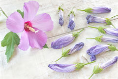 Hibiscus flower and wilted petals Stock Photography