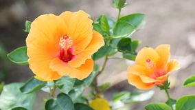 Hibiscus flower with wind blow. Orange hibiscus flower with wind blow stock video