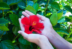 Hibiscus flower in woman hands Royalty Free Stock Images