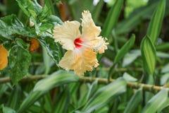 Hibiscus flower yellow beautiful on tree Stock Image