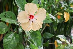 Hibiscus flower yellow beautiful on tree Close up Stock Photography