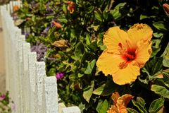 Hibiscus flower yellow Stock Photo