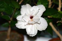Hibiscus flowering Royalty Free Stock Photos