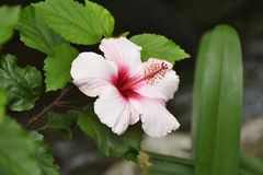 Hibiscus flowering. Close-up of the flower of rosemallow Stock Photography
