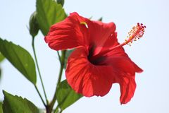 Hibiscus flower. Hibiscus is a flowering plant which is typically grown in warm tropical climates. These flowers are large and are shaped like a trumpet.  There Stock Photo