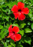 Hibiscus flowers. Two hibiscus flowers on the bush Stock Photo