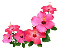 Hibiscus Flowers. Pink and red Hibiscus flowers isolated in white with copy space Royalty Free Stock Photography