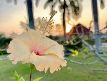 Hibiscus flowers bloom in the morning stock image