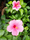 Hibiscus flowers blooming Stock Photography