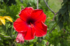 Hibiscus flowers. On blur background Stock Photo