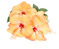 Hibiscus flowers bunch. The tropical orange hibiscus is decorative background Royalty Free Stock Photography