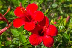Hibiscus flowers on the bush Stock Photos