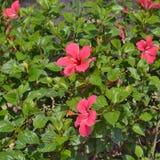 Hibiscus flowers on bush. Royalty Free Stock Photo