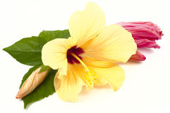 Hibiscus flowers closeup Stock Images
