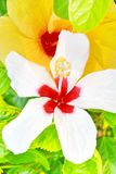 Hibiscus flowers. Are a genus of flowering plants Royalty Free Stock Photography