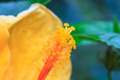 Hibiscus flowers are a genus of flowering plants in the mallow f. Amily Royalty Free Stock Images
