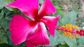 Hibiscus flowers, hibiscus, rose mallow Stock Photos