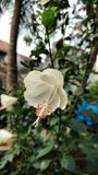 Hibiscus flowers , hibiscus, rose mallow Stock Photos