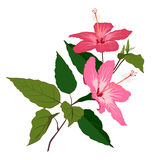 Hibiscus flowers isolated on white Stock Photography