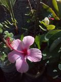 Hibiscus, flowers, morocco royalty free stock photography